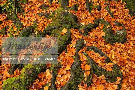 Tree Roots and Leaves, Triberg im Schwarzwald, Schwarzwald-Baar, Black Forest, Baden-Wurttemberg, Germany