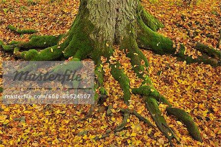 Mossy Tree Roots, Franconia, Bavaria, Germany