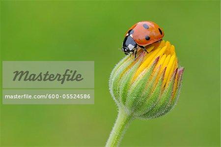 Sept Spot coccinelle sur une fleur