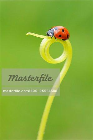 Seven Spot Ladybird on Tendril