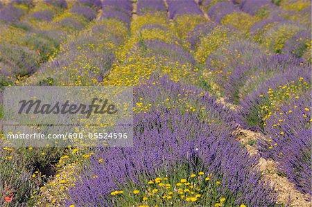 Champ de lavande intégrale à fleurs jaunes, Vaucluse, Alpes-de-Haute-Provence Alpes-de-Haute-province-Alpes-Cote d Azur, Provence, France