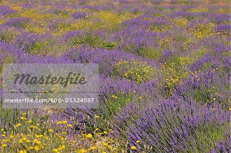 Champ de lavande anglaise à fleurs jaunes, Vaucluse, Alpes-de-Haute-Provence Alpes-de-Haute-province-Alpes-Cote d Azur, Provence, France