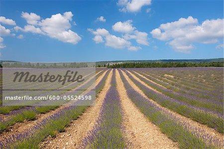 Champ de lavande anglaise, Vaucluse, Alpes-de-Haute-Provence Alpes-de-Haute-province-Alpes-Cote d Azur, Provence, France