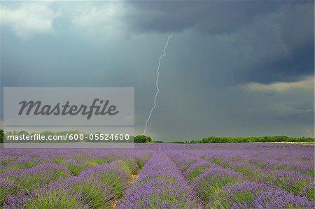 Lightning Storm over Lavender Field, Valensole Plateau, Alpes-de-Haute-Provence, Provence, France