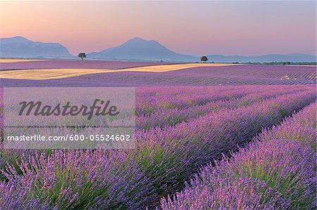 Anglais des champs de lavande, Valensole, Plateau de Valensole, Alpes-de-Haute-Provence, Provence-Alpes-Cote d Azur, Provence, France