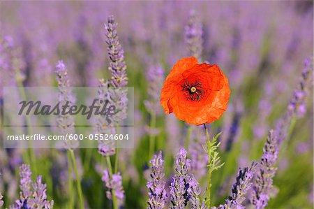 Gros plan d'un coquelicot rouge dans le champ, le Plateau de Valensole, lavande Alpes-de-Haute-Provence, Provence, France