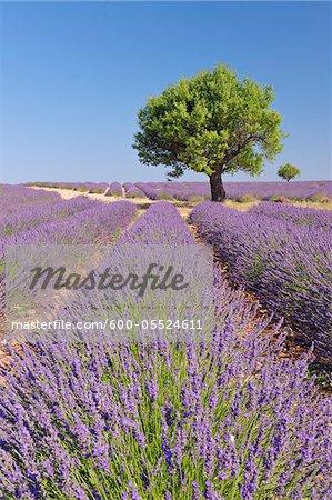Arbre dans un champ lavande, Plateau de Valensole, Alpes-de-Haute-Provence Alpes-de-Haute-province-Alpes-Côte d'Azur, Provence, France