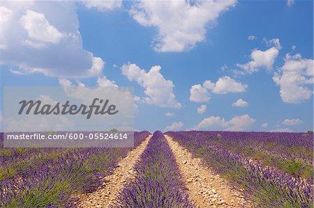 Français champ lavande, Valensole, Plateau de Valensole, Alpes-de-Haute-Provence, Provence-Alpes-Cote d Azur, Provence, France