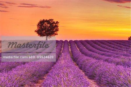 Arbre dans un champ lavande au coucher du soleil, le Plateau de Valensole, Alpes-de-Haute-Provence Alpes-de-Haute-province-Alpes-Cote d Azur, Provence, France