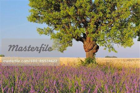 Champ de lavande anglaise avec arbre, Valensole, Plateau de Valensole, Alpes-de-Haute-Provence, Provence-Alpes-Cote d Azur, Provence, France