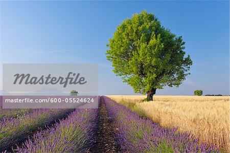 Arbre dans un champ de blé et de lavande, Plateau de Valensole, Alpes-de-Haute-Provence, Provence-Alpes-Cote d Azur, Provence, France