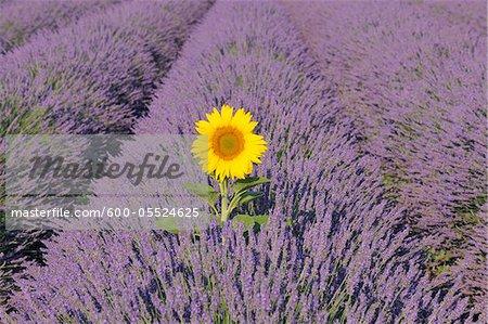 Gros plan du tournesol dans le champ, le Plateau de Valensole, lavande Alpes-de-Haute-Provence, Provence, France