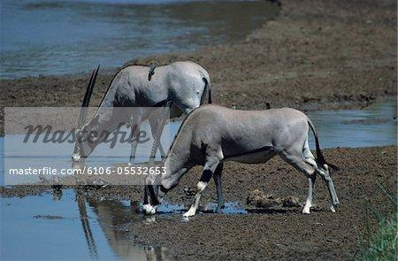 Deux beisa Oryx (Oryx beïsa beisa), eau potable, Kenya