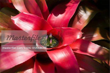 Fleur (Neoregelia Johannis), gros plan