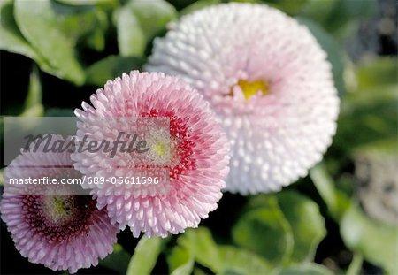 Rose Bellis perennis