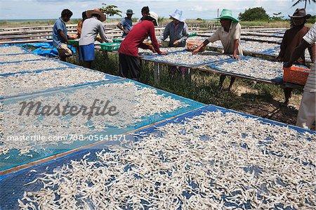 Travailleurs de séchage petit poisson, Paknam Tako, Province de Chumphon, Thaïlande
