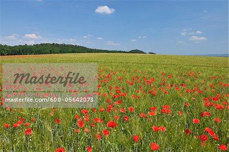 Coquelicots rouges dans le domaine des céréales, Blankenburg, Harz, Saxe-Anhalt, Allemagne