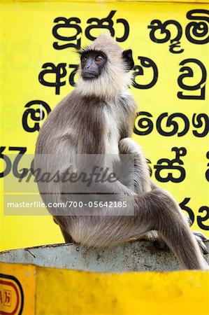 Langur Monkey, Kiri Vehera, Kataragama, Sri Lanka