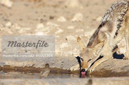 Une eau potable de chacal à dos noir tout en regardant un oiseau, Kgalagadi Transfrontier Park, Northern Cape Province, Afrique du Sud