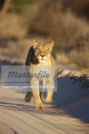 Une lionne marchant vers la caméra, Kgalagadi Transfrontier Park, Province de Northern Cape, en Afrique du Sud