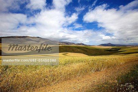 Blé champs, Province du Cap oriental, en Afrique du Sud