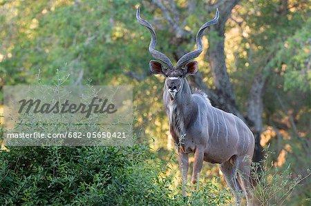 Antilope, Parc National de Mana Pools (Zimbabwe)