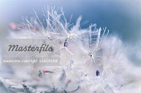 Syncarpha vestita (snow Cap, Tontelboom, Sewejaartjie, Everlasting) en gros plan macro fleur va aux semences, montrant les poils de semences délicat, Silvermine, Table Mountain National Park, Cape Town, Western Cape, Afrique du Sud