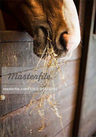 Gros plan du cheval à mâcher le foin