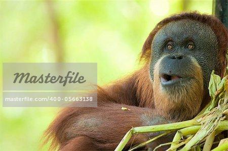 adult male orang utan feeding, focus on eyes , motion blur on mouth