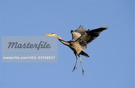 Heron ready for landing