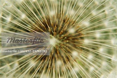 Löwenzahn Seedhead, extreme Nahaufnahme