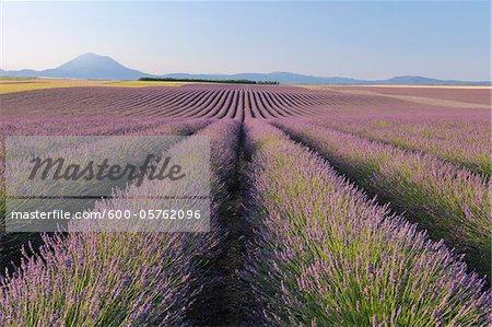 Français champ lavande, Valensole, Plateau de Valensole, Alpes-de-Haute-Provence, Provence-Alpes-Cote d Azur, France
