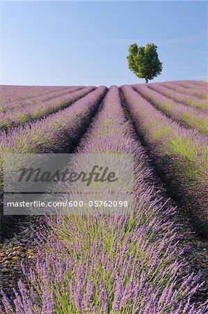 Champ de lavande anglaise avec arbre, Valensole, Plateau de Valensole, Alpes-de-Haute-Provence, Provence-Alpes-Cote d Azur, France