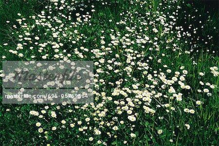 Fleurs sauvages, vergerette de marguerites, de plus en plus dans le champ