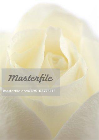 Blanc rose, gros plan
