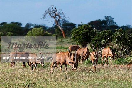 Oryx (Oryx gazella), Parc National de Tsavo East, Kenya, Afrique de l'est, Afrique