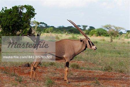 Oryx (Oryx gazella), Tsavo East National Park, Kenya, East Africa, Africa