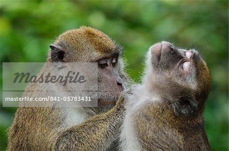 Macaques, Sabah, Borneo, Malaysia, Southeast Asia, Asia