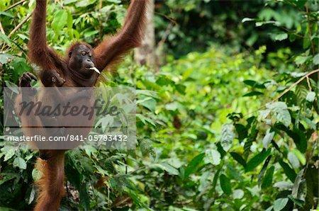 Orangutan (Pongo borneo), Sabah, Borneo, Malaysia, Southeast Asia, Asia