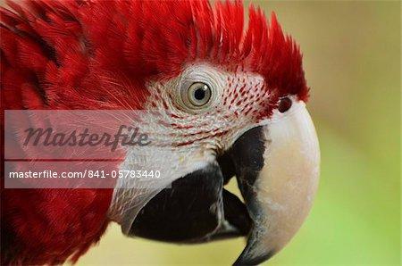Portrait de l'ARA, Lok Kawi Wildlife Park, Sabah, Borneo, Malaisie, Asie du sud-est, Asie