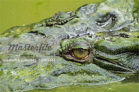 Crocodile (estuaire) marin (Crocodylus porosus), Sarawak, à Bornéo, en Malaisie, l'Asie du sud-est, Asie