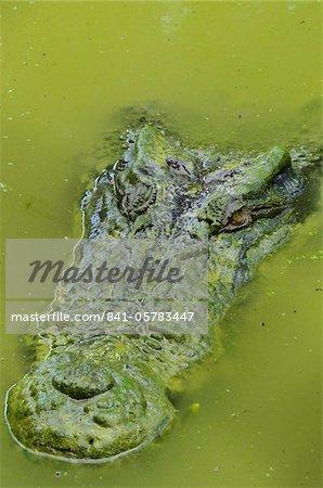 Les crocodiles d'eau salée ou estuariens (Crocodylus porosus), Sarawak, à Bornéo, en Malaisie, l'Asie du sud-est, Asie