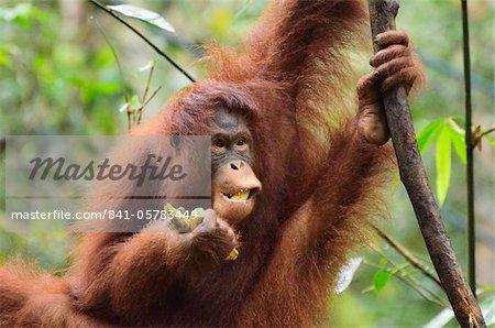 Orangs-outans (Pongo Bornéo), réserve de faune Semenggoh, Sarawak, Bornéo, Malaisie, Asie du sud-est, Asie