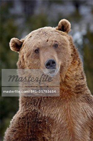 Grizzli (Ursus arctos horribilis) en captivité, près de Bozeman, Montana, États-Unis d'Amérique, l'Amérique du Nord