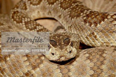 Mojave rattlesnake (Mohave Rattlesnake) (Mojave Diamond Rattlesnake) (Desert Diamond Back) (Crotalus scutulatus) in captivity, Arizona Sonora Desert Museum, Tucson, Arizona, United States of America, North America