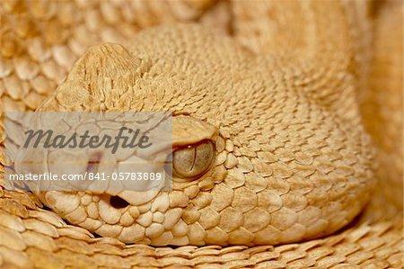 Diamant-dos hypomelanistic crotale (Western diamondback rattlesnake) (Crotalus atrox) en captivité, Arizona Sonora Desert Museum, Tucson, Arizona, États-Unis d'Amérique, l'Amérique du Nord