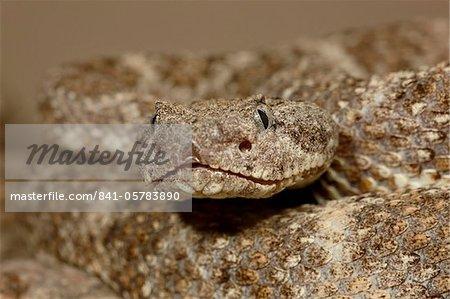 Moucheté rattlesnake (Crotalus mitchellii) en captivité, Arizona Sonora Desert Museum, Tucson, Arizona, États-Unis d'Amérique, l'Amérique du Nord
