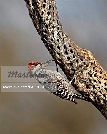 Pic arlequin mâle (Picoides scalaris), l'étang, Amado, Arizona, États-Unis d'Amérique, l'Amérique du Nord
