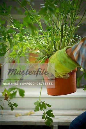 Gardener Holding Potted Parsley, Bradford, Ontario, Canada