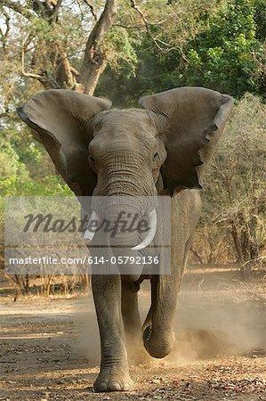 Vue de face de chargement, l'éléphant d'Afrique